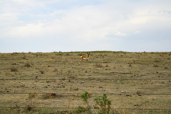Antelope on the Pawnee National Grasslands. Crow Valley Campground