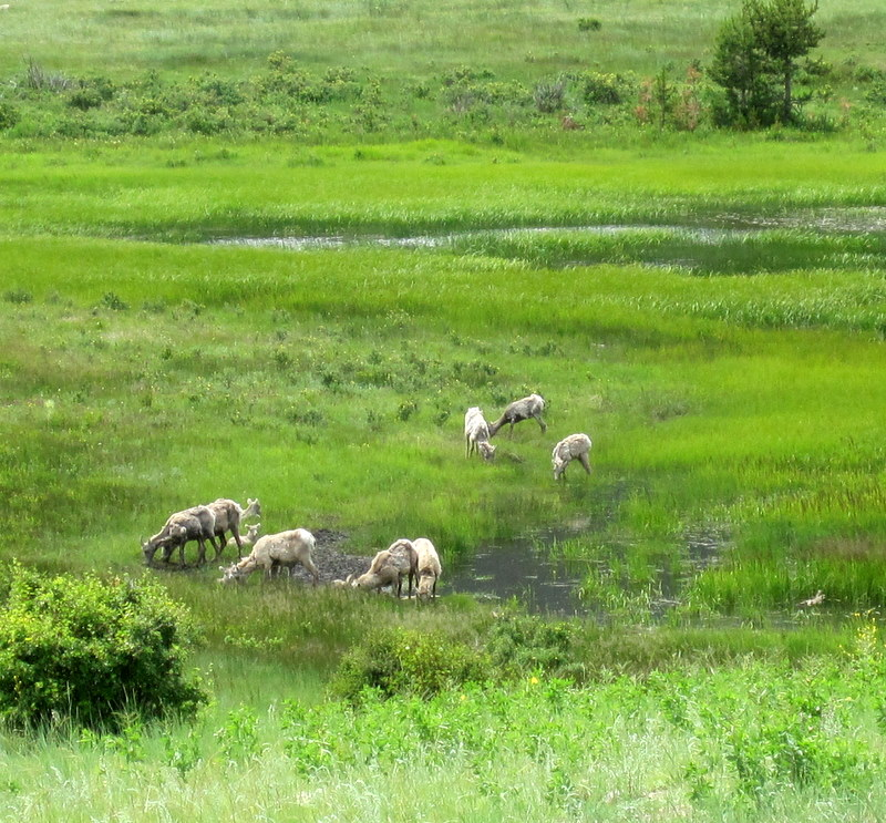 Camping at Moraine Park, Rocky Mountain National Park. Bighorn sheep in the meadow.