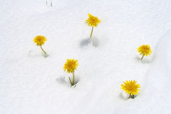 Dandilions in snow