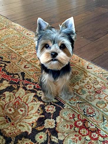 Mobile groomer for Yorkshire Terrier