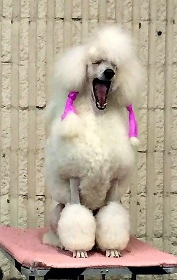 Standard Poodle at Denver Dog show