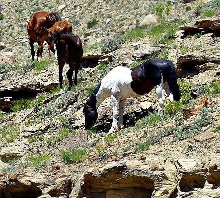 Colorado Wild Horses Grand Junction