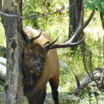 elk rubbing neck on trees in Rocky Mountain National Park, Colorado Travel