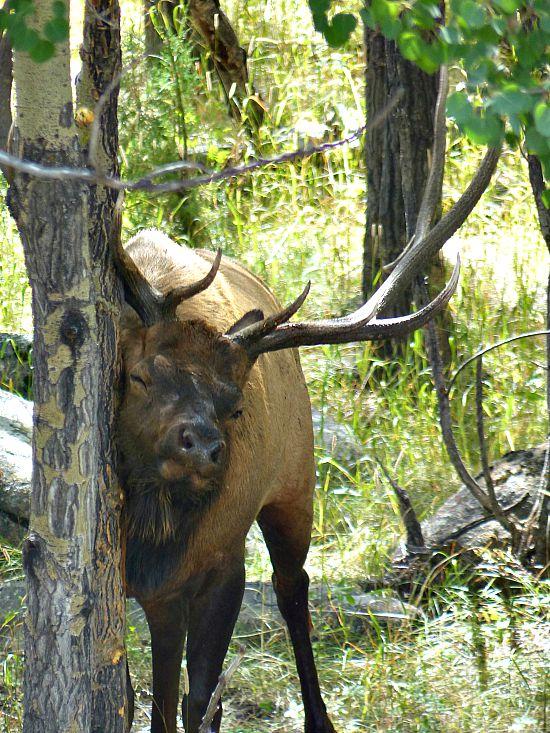 Elk Watching Colorado Travel Estes Park Rocky Mountain National Park