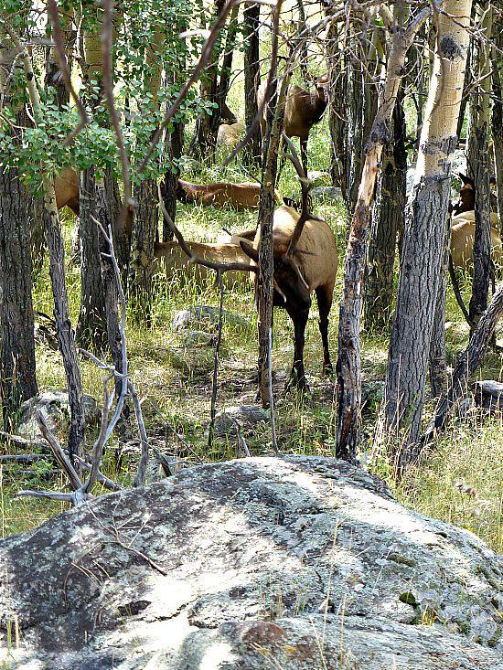 Elk in Estes Park, Colorado Travel Fall in Rocky Mountain National Park