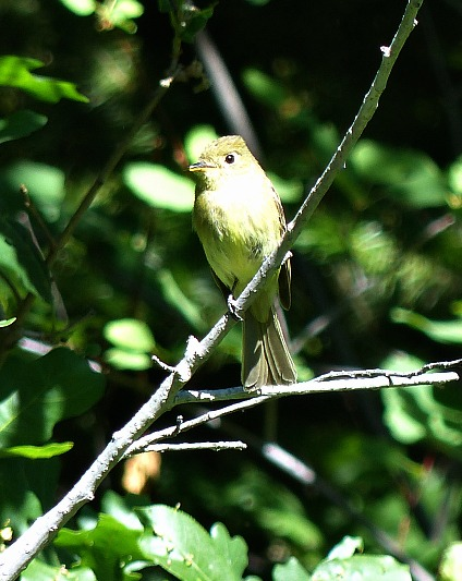 cordilleran-flycatcher-fish-creek-falls-steamboat-springs-colorado