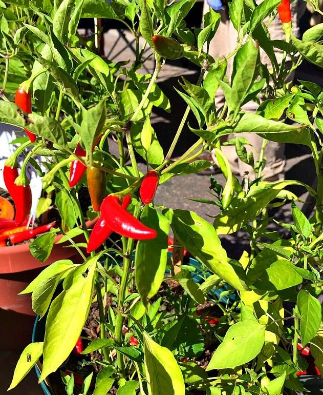 Mirasol Chile Plant